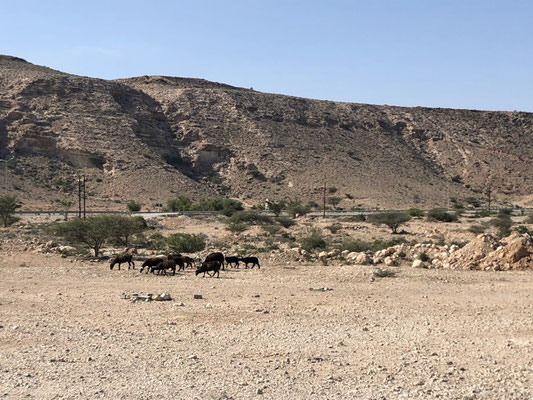 Driving in the rocky desert of Oman and seeing goats and donkey on the streets