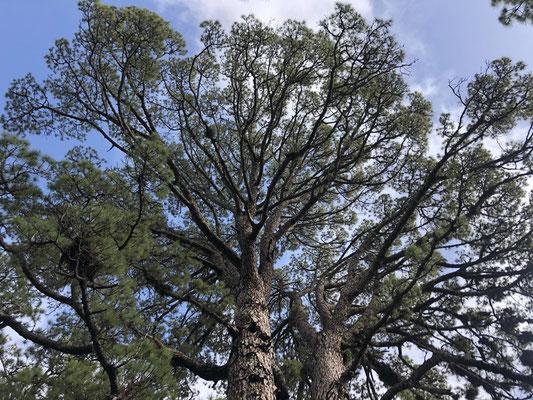 Pine trees on El Hierro