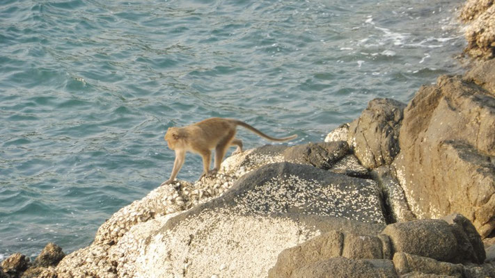 Monkey on the cliffs in Koh Chang, Thailand