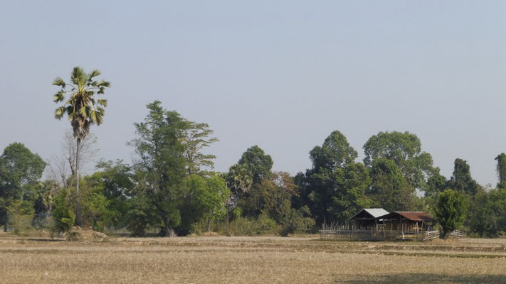 Dry rice fields in Don Det, Laos