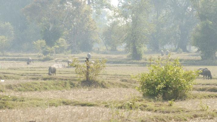 Water buffalos on Don Det, Laos
