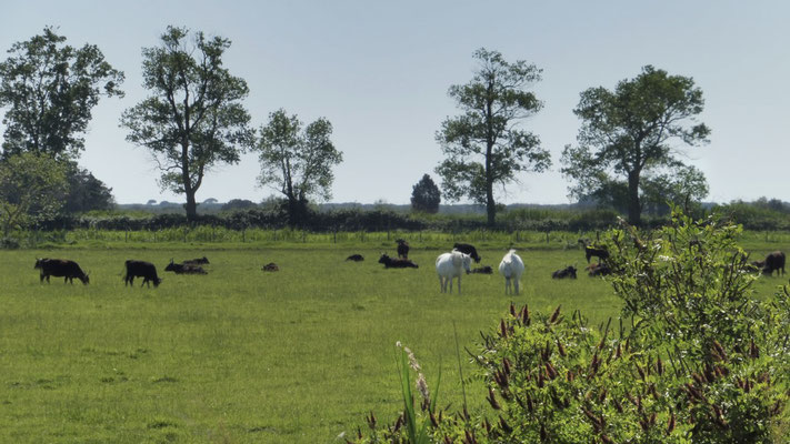 Beautiful free white horses and bulls in Camargue, Provence (South of France)