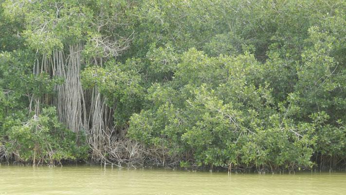 Mangroves at Ria Lagartos