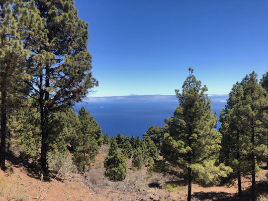 Pine forest in the North of La Palma