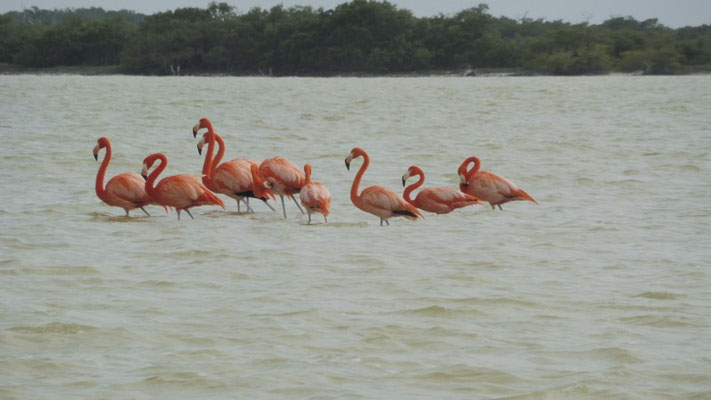 Pink Flamingos at Ria Lagartos