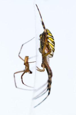 Wespenspinnen-Pärchen