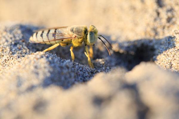 Kreiselwespe (Bembix rostrata)