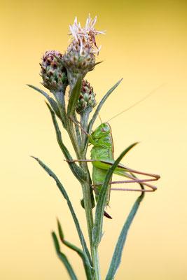 Zweifarbige Beißschrecke - Metrioptera bicolor