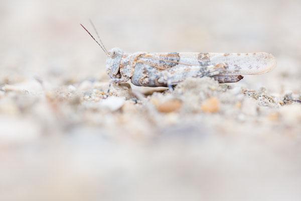 Blauflügelige Sandschrecke (Sphingonotus caerulans)