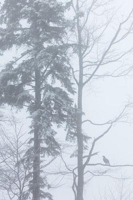 Auerhahn im Nebel