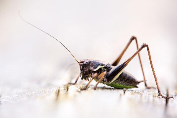 Alpen-Strauchschrecke