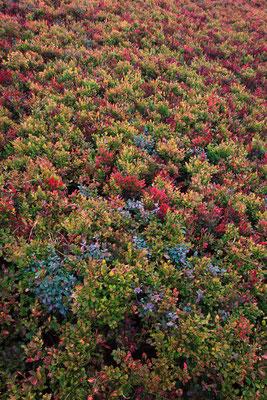 Heidelbeeren und Rauschbeeren