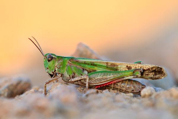 Grüne Strandschrecke - Aiolopus thalassinus