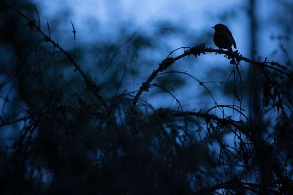 Rotkehlchen zur blauen Stunde