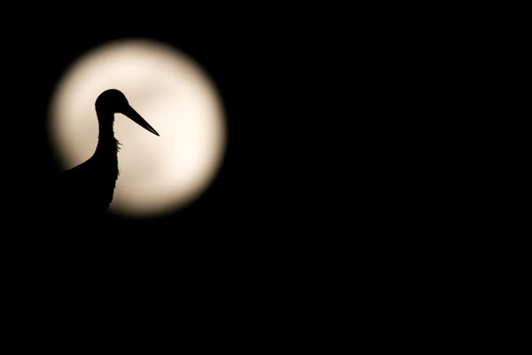 Storch vor Vollmond