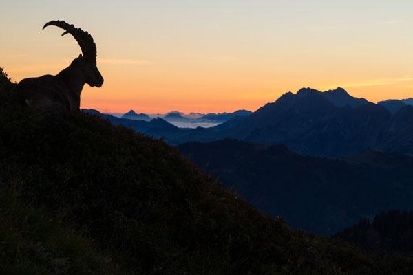 Steinbock vor Alpenkulisse