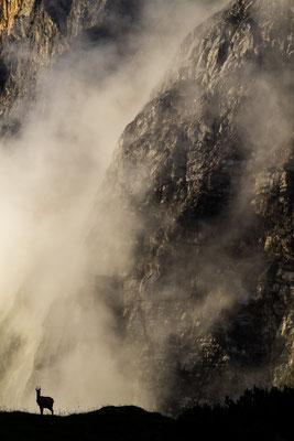 Gämse im Karwendel