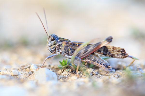 Kreuzschrecke (Oedaleus decorus)