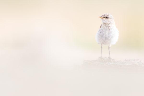 Isabellsteinschmätzer (Oenanthe isabellina) - Jungvogel