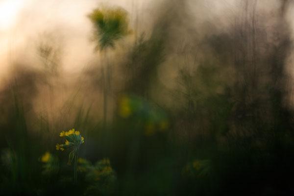 Hohe Schlüsselblume - Primula elatior