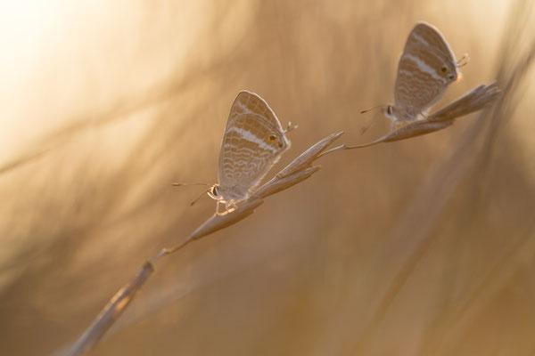 Großer Wanderbläuling (Lampides boeticus)