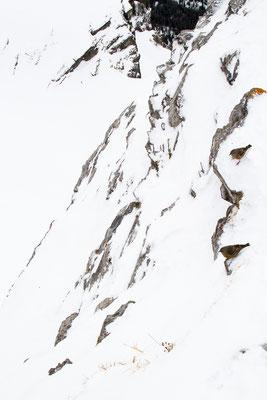 Alpenbraunelle
