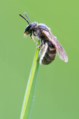 Furchenbiene (Lasioglossum sp.)