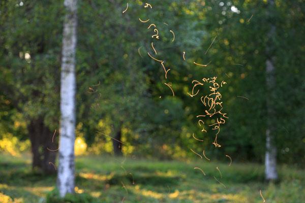 Tanzende Mücken