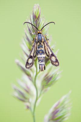 Zypressenwolfsmilch-Glasflügler (Chamaesphecia empiformis)