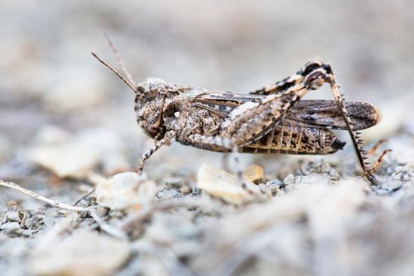 Insubrische Ödlandschrecke (Acrotylus insubricus)