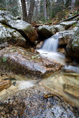 Korsischer Feuersalamander (Salamandra corsica)