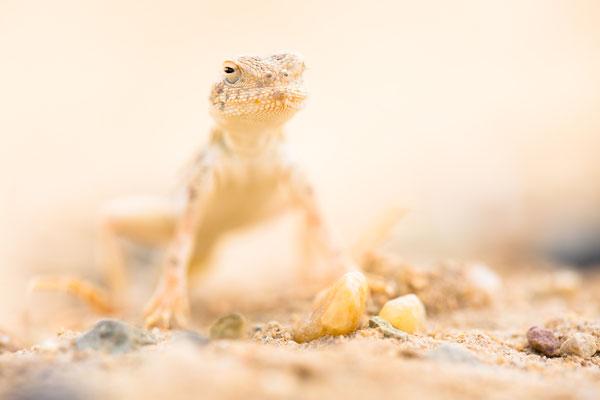 Krötenkopf-Agame