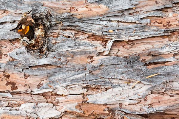 Zimmermannsbock (Acanthocinus aedilis)