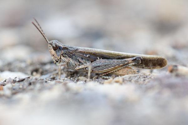Schlanke Ödlandschrecke (Acrotylus patruelis)
