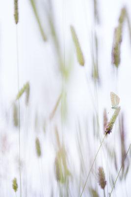 Weißdolch-Bläuling