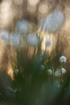 Frühlingsknotenblume - Leucojum vernum