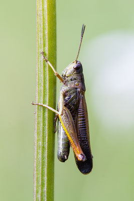 Gebirgsgrashüpfer - Stauroderus scalaris