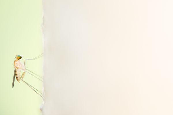 Langbeinfliege (Dolichopodidae)