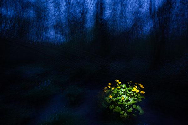 7. Platz - Pflanzen - Sumpfdotterblume zur blauen Stunde