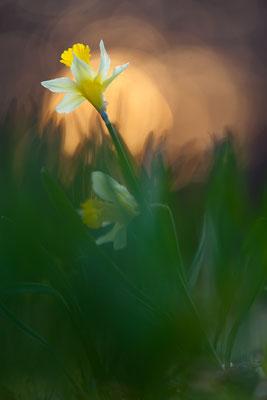 Gelbe Narzisse - Narcissus pseudonarcissus