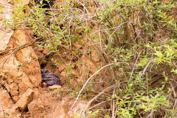 Junger Uhu in der Steilwand