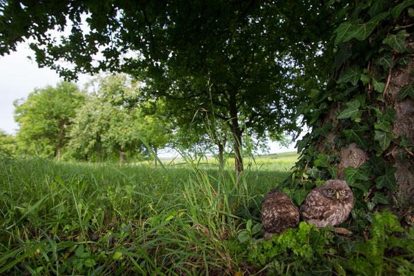Vom Baum gefallene Steinkauz-Junge