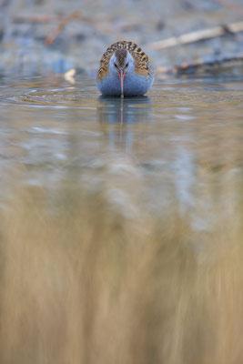 Wasserralle