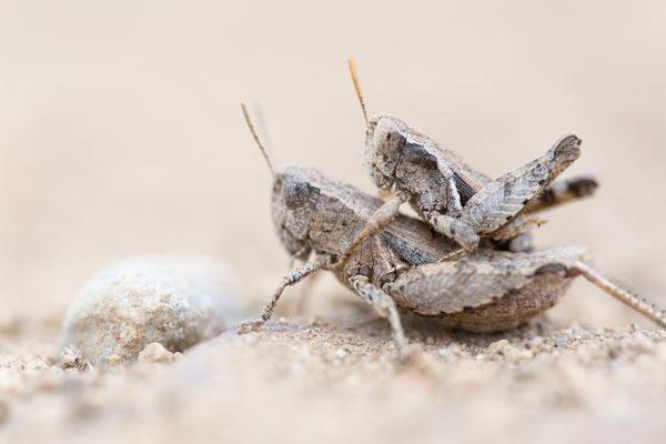 Kleine Knarrschrecke (Pezotettix giornae)