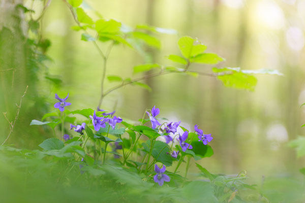 Wald-Veilchen - Viola reichenbachiana