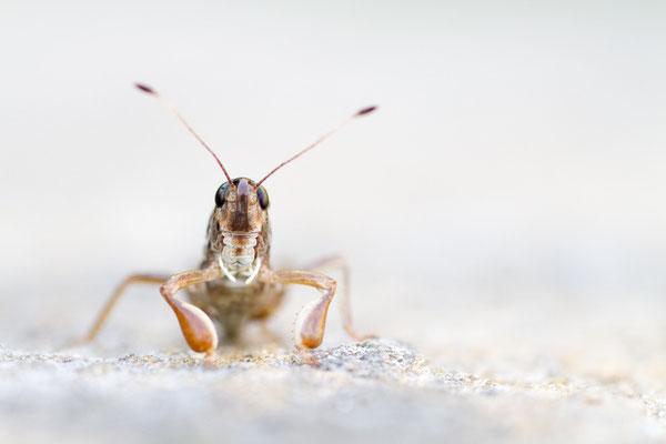 Sibirische Keulenschrecke - Gomphocerus sibiricus