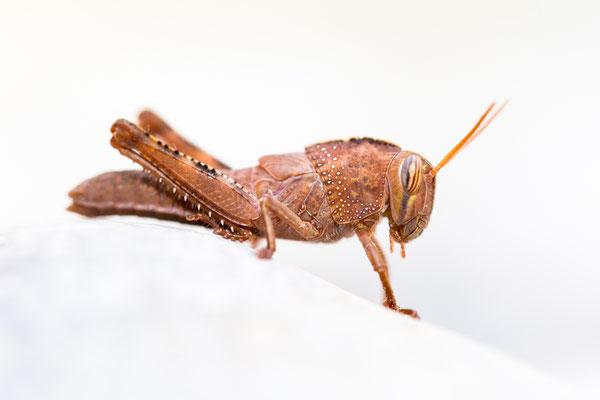 Larve der Ägyptischen Wanderheuschrecke (Anacridium aegyptium)