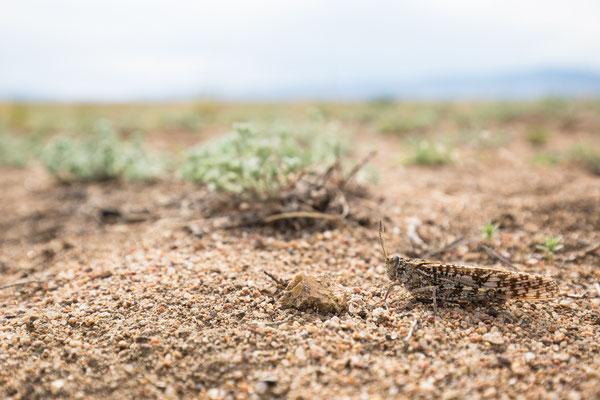 Ödlandschrecke (cf. Angaracris barabensis)
