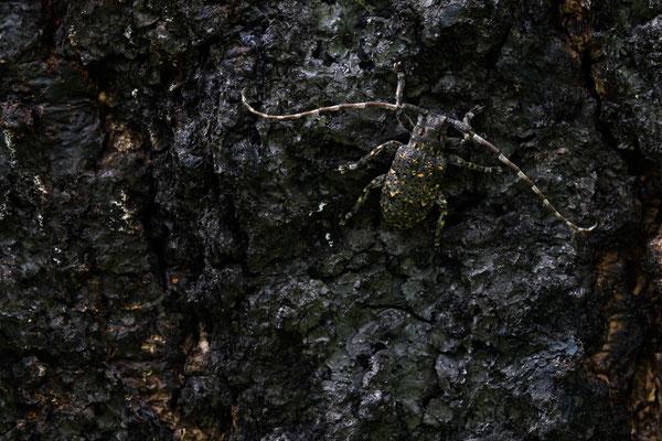 Bockkäfer (Mesosa myops)