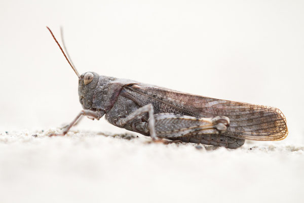 Gefleckte Schnarrschrecke - Bryodema tuberculata